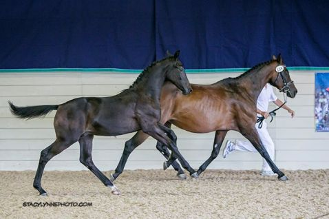 Roman Holiday and her 2015 colt by Negro, Koraggio